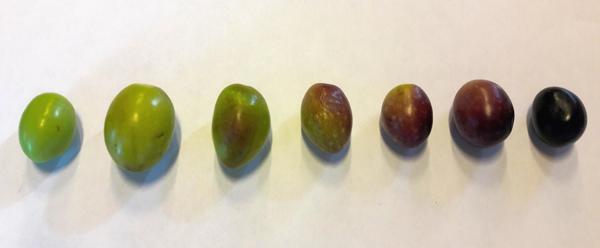 Oliven von grün bis schwarz